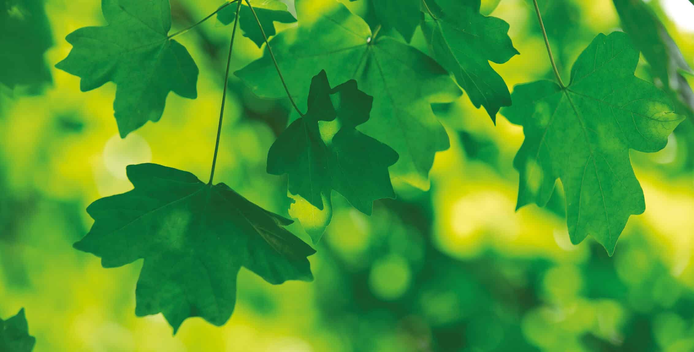 Blätter eines Ahornbaumes